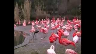 Прага Зоопарк Розовый Фламинго (Video Travels)(Прага Зоопарк Розовый Фламинго (Video Travels) По мнению ученых розовый фламинго – одна из самых древних птиц..., 2015-04-13T12:39:12.000Z)