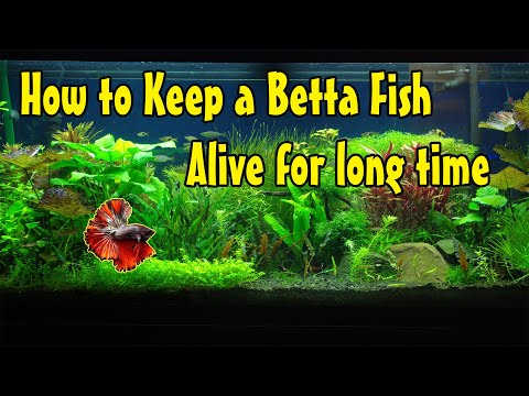 (Colorful Life )How To Keep A Betta Fish Alive For Long Time