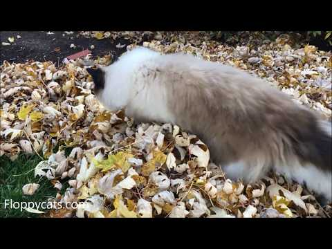 🍁 🍂 Ragdoll Cats Charlie and Trigg Play in Autumn Leaves November