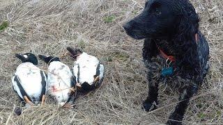 Охота на утку с русским охотничьим спаниелем!!!Стелла(Арктика)
