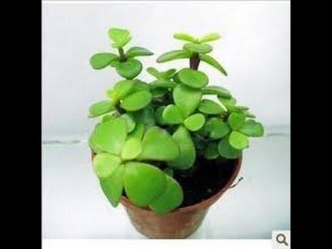 Plantas para atraer el dinero y amor doovi - Plantas para atraer el dinero ...