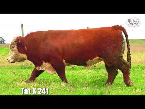 LOTE 02   TAT X241 TOURO HEREFORD RECULUTA AGROPASTORIL