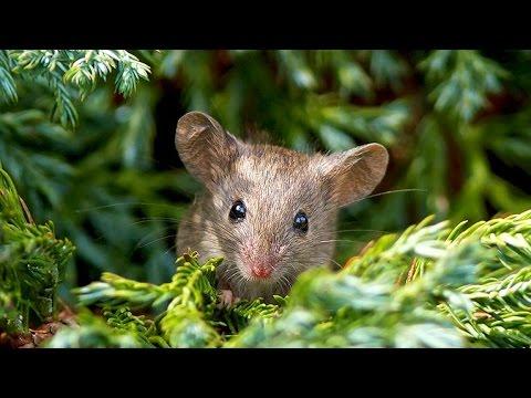 Tiếng chuột kêu Hình ảnh và tiếng kêu con chuột