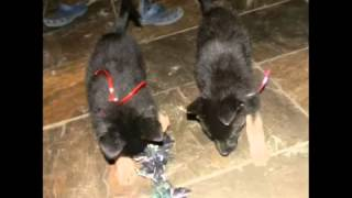 German Shepherd K9 Puppy For Sale I
