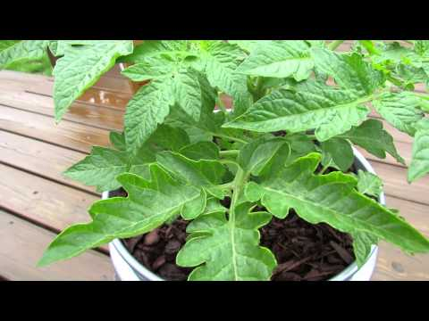 Foliar Spraying: Stopping Tomato Fungal Diseases with Baking Soda – The Rusted Garden 2013