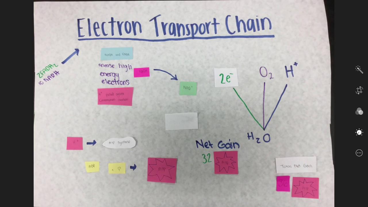 Glycolysis, Kreb Cycle, Electron Transport Chain - YouTube