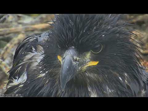 Sauces Channel Island Eagles  ~ Sauces Beauties ~ Up Close & Personal With Corsair 5.24.18