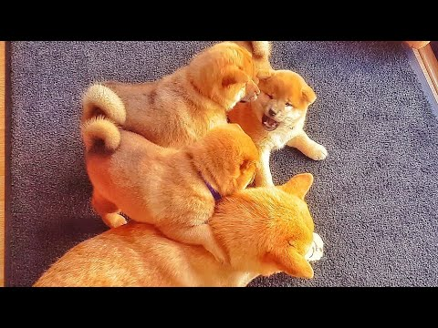 Potats hittin puberti - MLIP / Ep 142 / Shiba Inu puppies