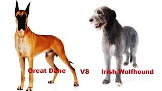 COMPARISON BETWEEN GREAT DANE AND IRISH WOLFHOUND