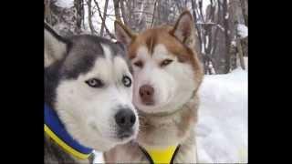 Ездовые собаки не боятся пермских сугробов