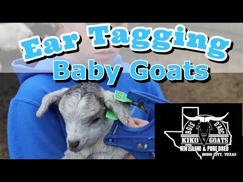Ear Tagging Baby Goats | Tragedy Hits The Farm | Goat Farm