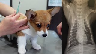 POTATO the Corgi Puppy Goes to the Vet for a Close Examination of Kennel Cough