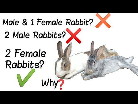 Can You Keep 2 Male Rabbits Together? | Keeping 2 Female Rabbits & 1 Male & 1 Female Rabbit Together
