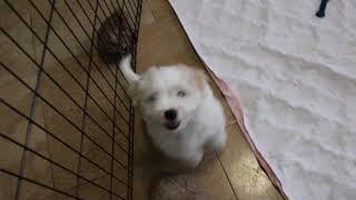 Coton de Tulear Puppies For Sale - Foxy 12/31/19