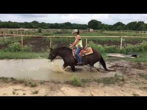 14.1 hh gentle beginners / kids horse; smoky black TWH mare