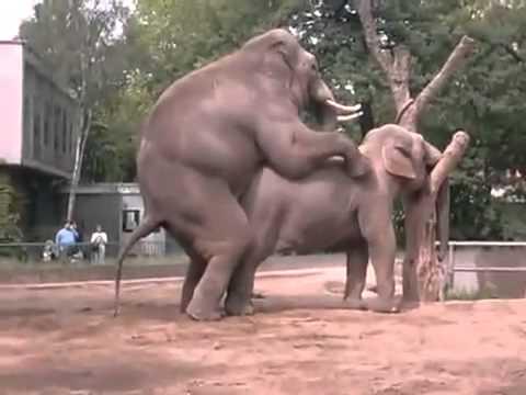 ช้างผสมพันธุ์ในสวนสัตว์