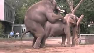 Repeat youtube video ช้างผสมพันธุ์ในสวนสัตว์