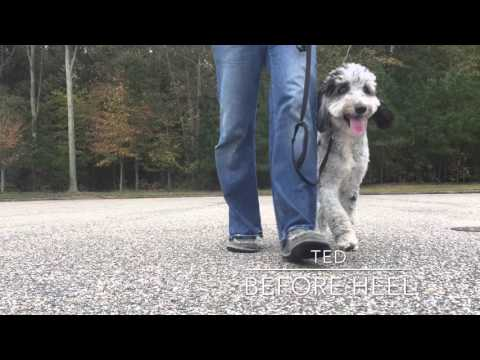Aussie Doodle puppy Ted: Best Doodle Trainers in Hampton Roads Virginia