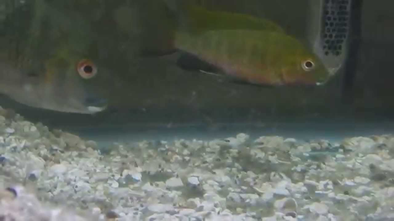 Tilapia Coptodon Bythobates Free Swimming Fry First Day