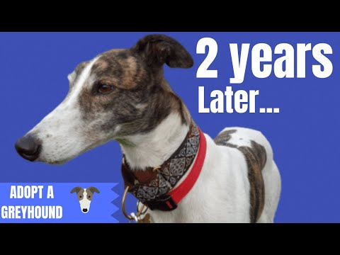 2 years with Magnus - Adopting a Greyhound