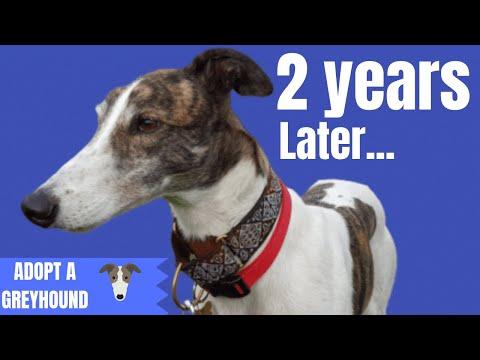 2 years with Magnus - Adopting a Greyhound