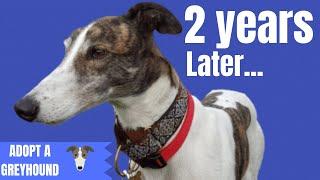 2 years with Magnus  Adopting a Greyhound
