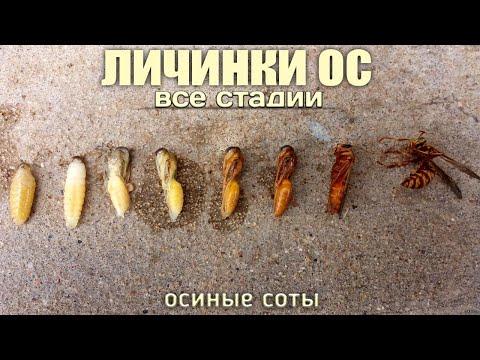 Как выглядит личинка осы