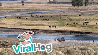 Bison Stampede in Yellowstone || ViralHog
