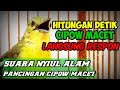 Suara Cipow Alam Membuat Cipow Macet Ombyokan Dan Cipow Liar Auto Respon  Mp3 - Mp4 Download