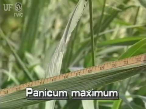 Guinea grass (Panicum maximum syn. Urochloa maxima)