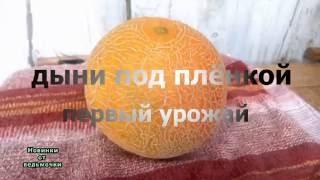 видео Выращивание дыни в домашних условиях. Обсуждение на LiveInternet