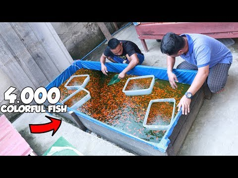 4,000 Colored Goldfish In SMALL TANK