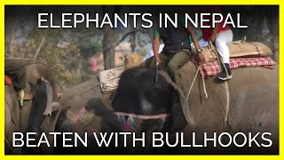 Elephants in Nepal Beaten With Bullhooks and Sticks for Games