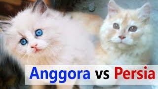 PERBEDAAN Kucing lucu ANGGORA dengan PERSIA