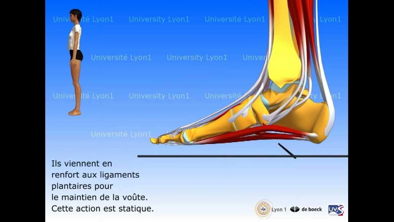 Anatomie Du Pied 3D le pied : organisation et fonctions musculaires - youtube