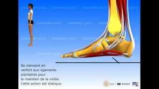 Le pied : organisation et fonctions musculaires