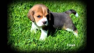 Audrey Lane Farm Beagle Puppies