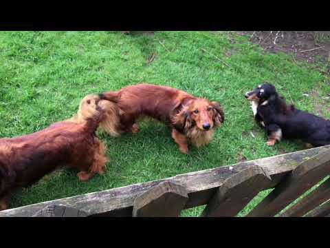 Amazing Dachshunds Kennel Bronia in UK