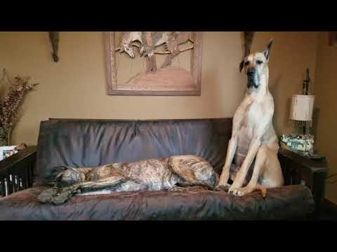 Patient Great Dane falls asleep waiting for spot on the couch