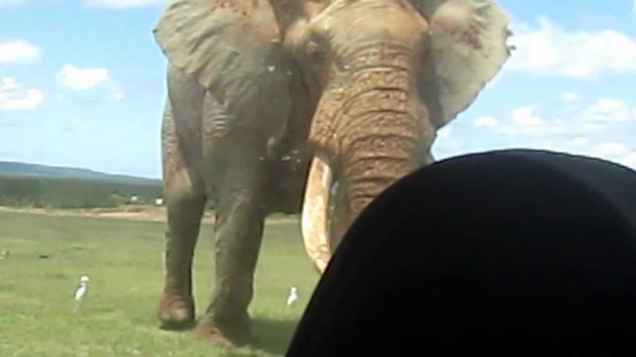 World's Biggest Elephant - YouTube