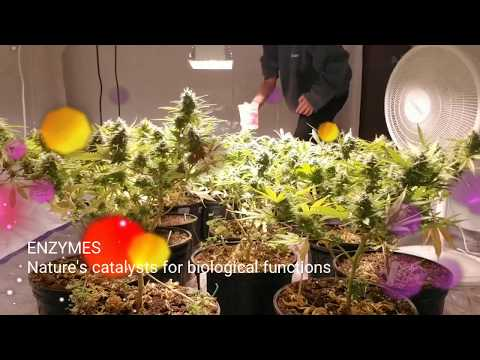 MAKE YOUR BUDS GROW FAST // Organic cannabis grow shows SEED SPROUT TEA warning*turn volume down*