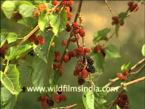Mulberry or Shahtoot Tree