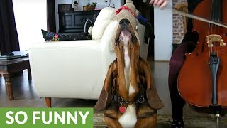 Basset Hound sings along to owner's cello practice