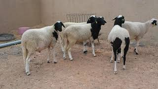 Mouton maroc race dman ferm Ali essalhi