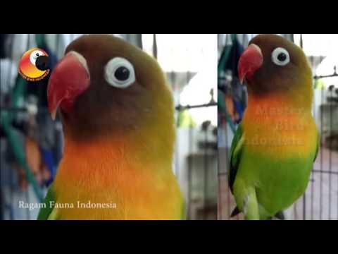 Pancingan Lovebird Paud dijamin Pasti Nyaut