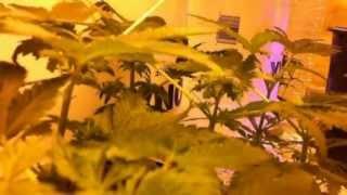 Hermaphrodite Marijuana Plant Question - Indoor Weed Plants