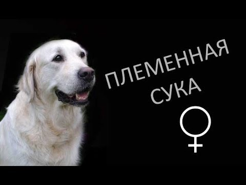 Вопрос: Вы знаете такую породу собак, кто это кобель или девочка на фото?