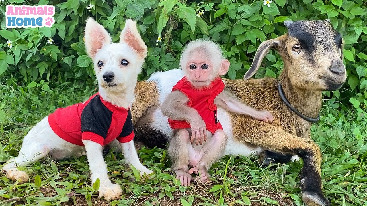 BiBi monkey with goat and puppy plays happily in the mountain