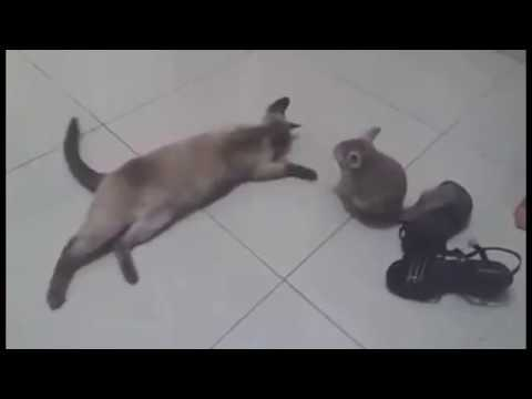 Chinchilla playing with cat and dog. Funny animals video 2017.