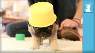 Pug Puppies Are The Silliest Of Puppies - Puppy Love